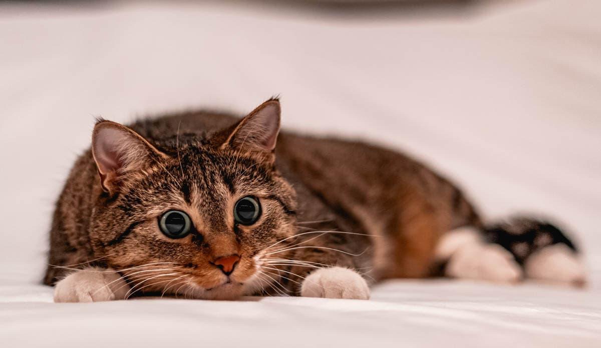 Autoimmune disorders in cats