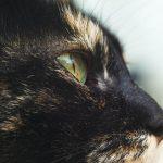 Blepharitis in Cats