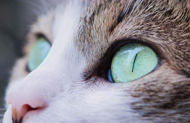 Blepharitis in Cats 1