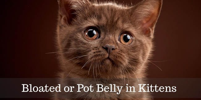 Bloated or Pot Belly in Kittens 1