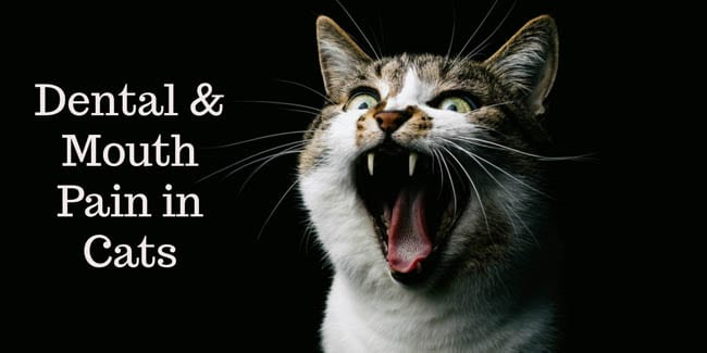 Dental and mouth pain in cats