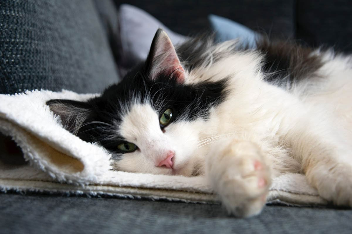 Diagnosing skin conditions in cats