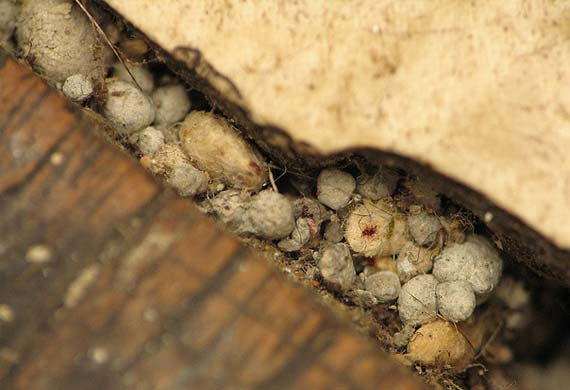 Flea pupae