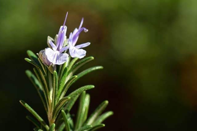 Herbs non-toxic to cats