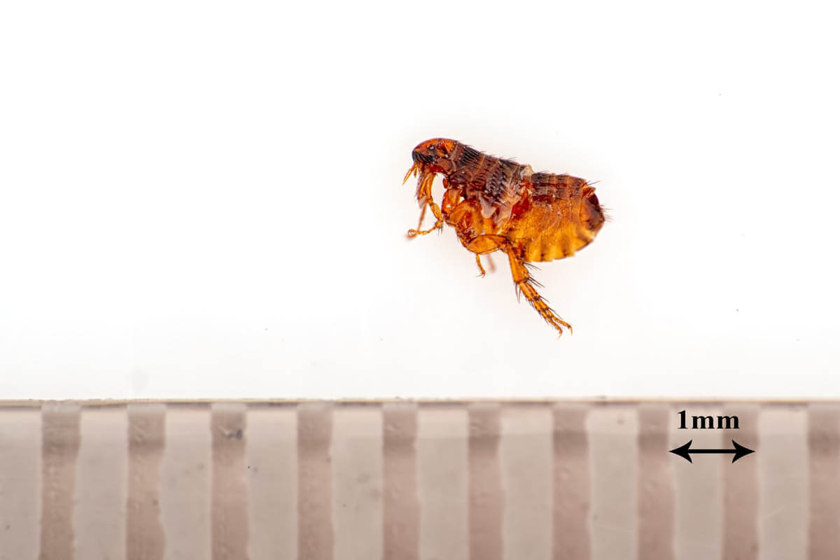 How large is a cat flea