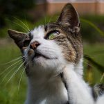 An Itchy Cat Doesn't Automatically Have Fleas