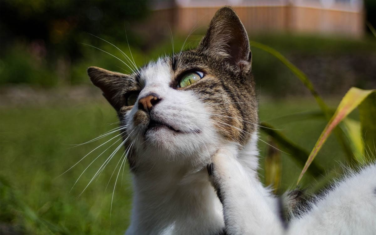 An itchy cat doesn't always have fleas
