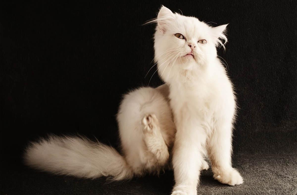 Can I use dog flea treatment on cats?