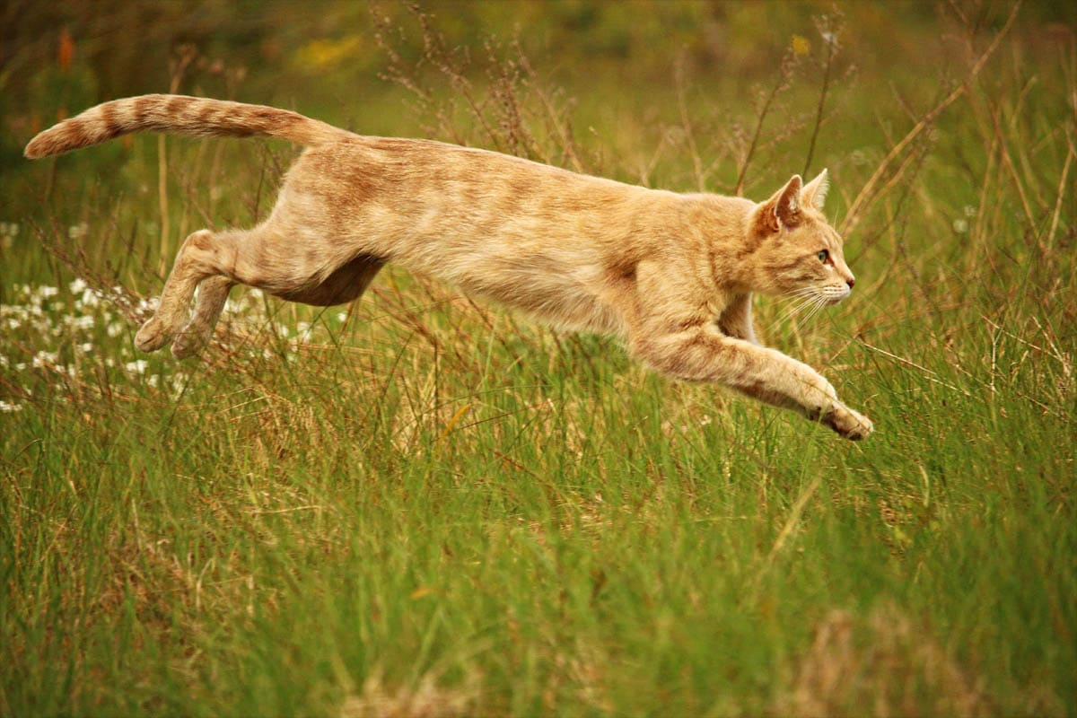 Cat stretched out when running