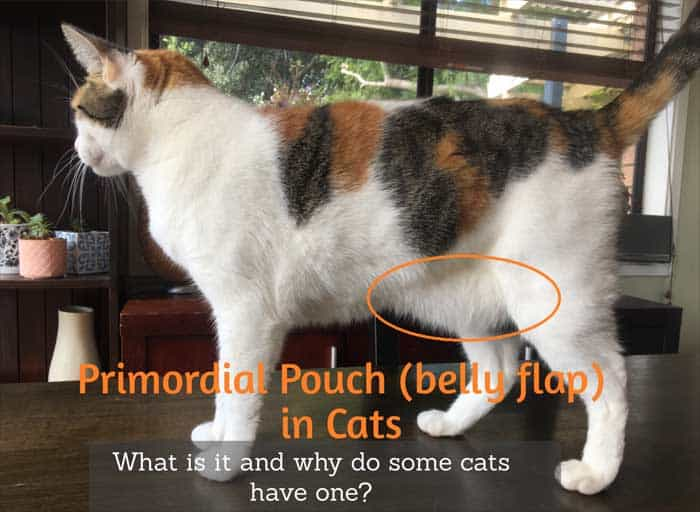 What is the Primordial Pouch in Cats?