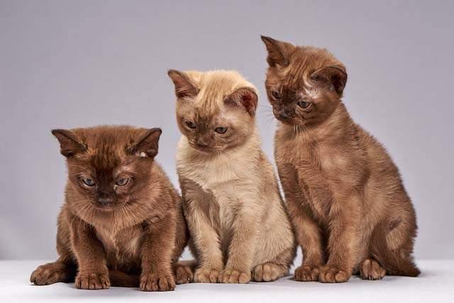 Friendliest Breeds of Cat 1