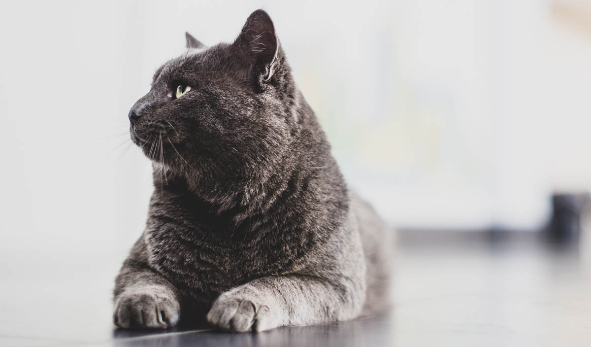 Hip dysplasia in cats