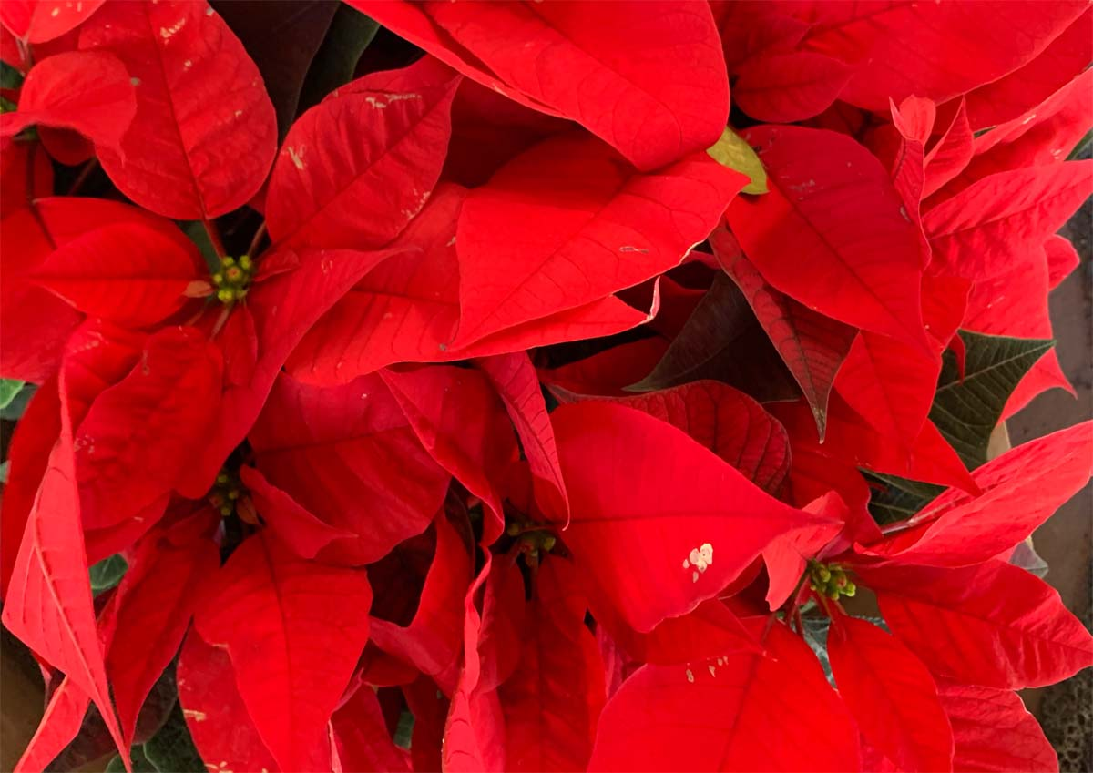 Is poinsettia toxic to cats?