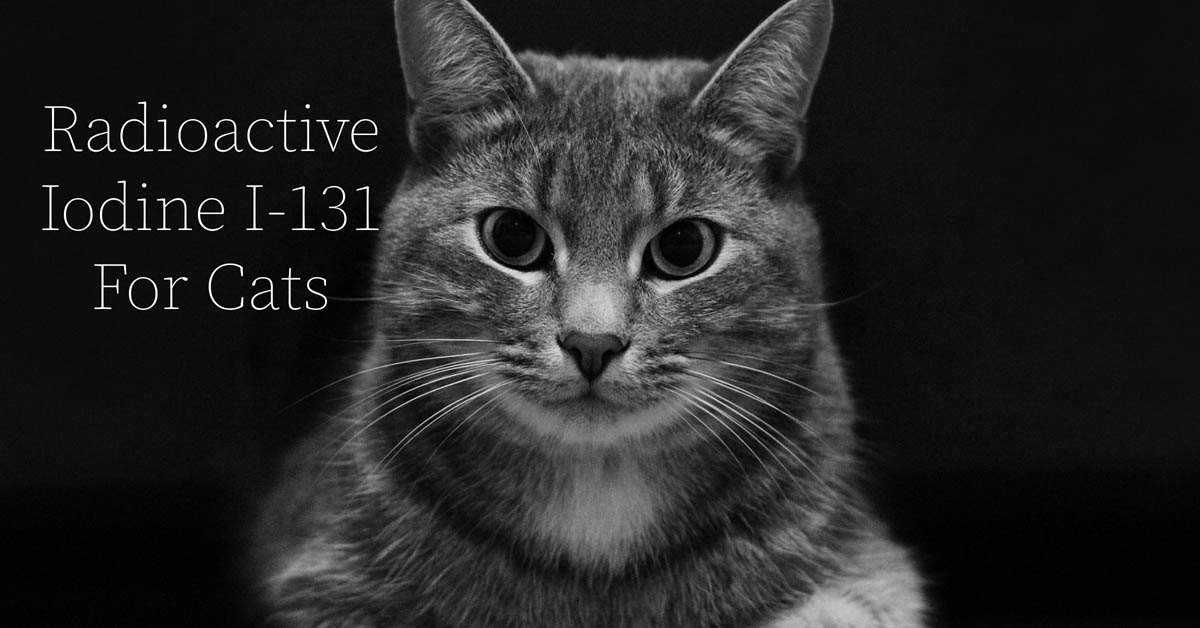 Radioactive iodine for cats with hyperthyroidism