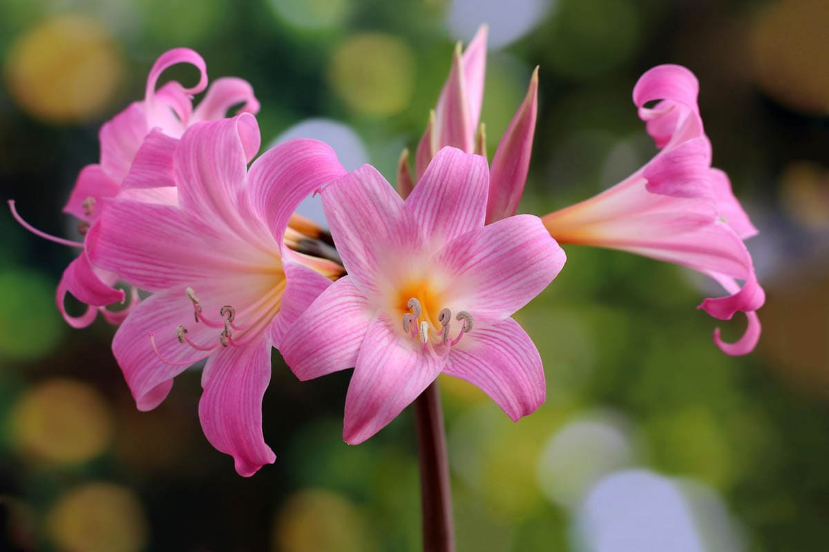 Is amaryllis (belladonna lily) toxic to cats?