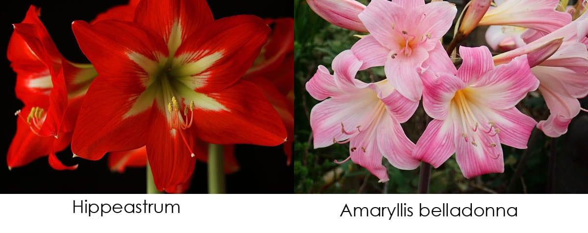 Hippeastrum vs Amaryllis belladonna