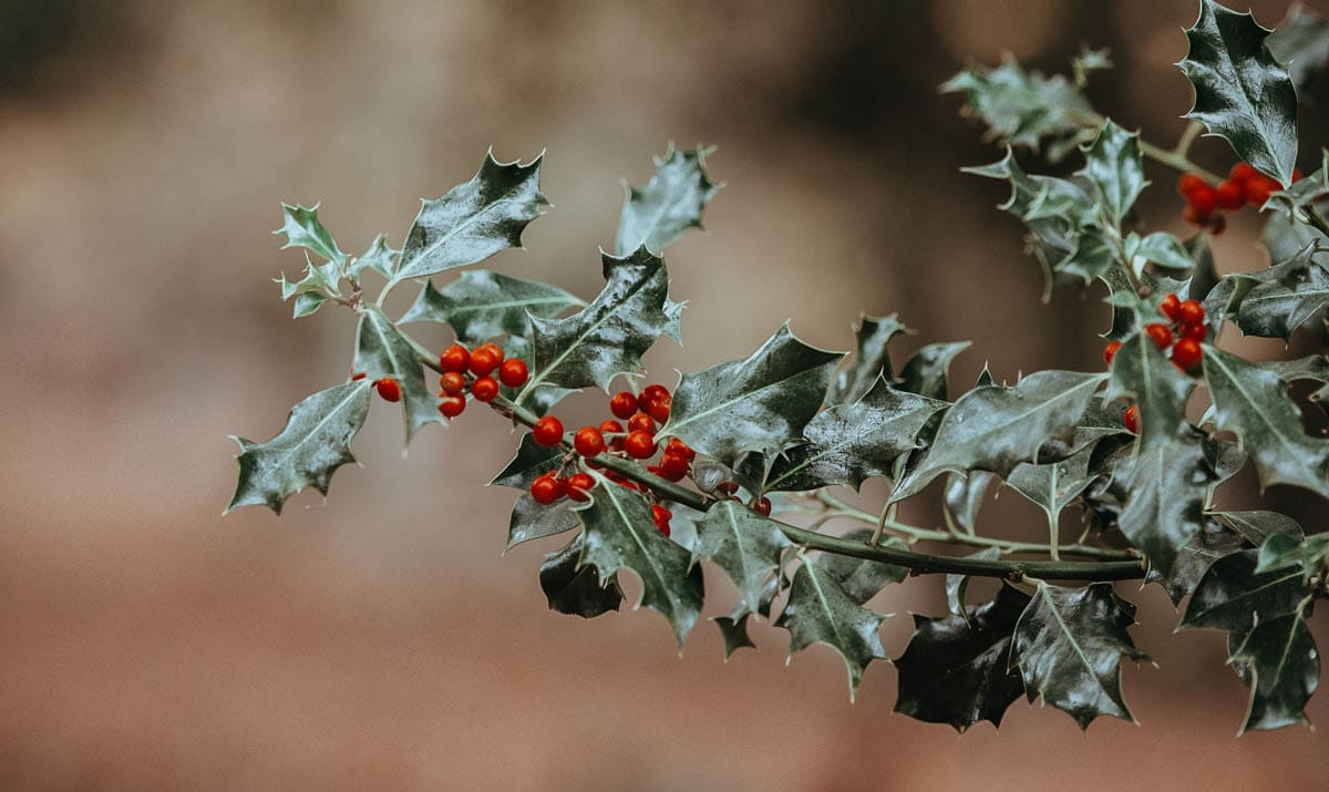 Is holly toxic to cats?