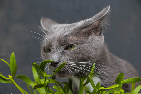 Is mistletoe toxic to cats?
