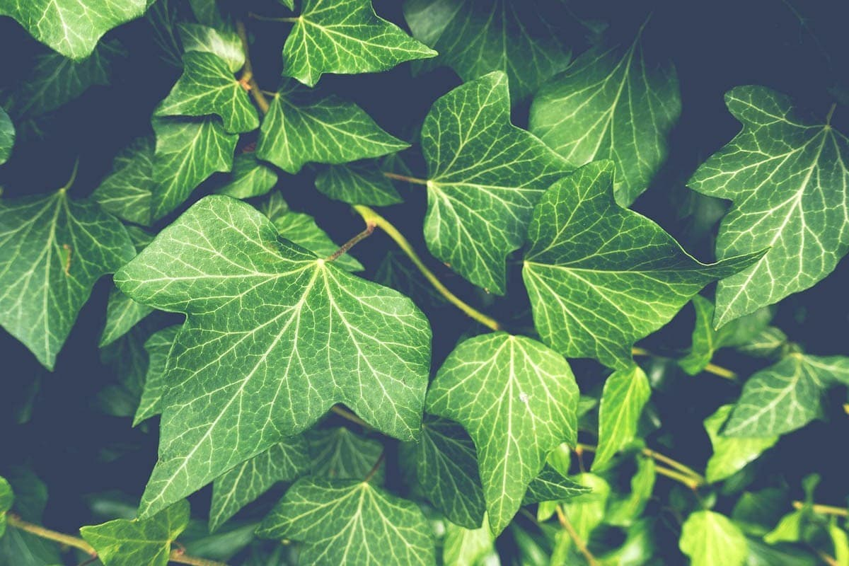 Ivy toxicity in cats