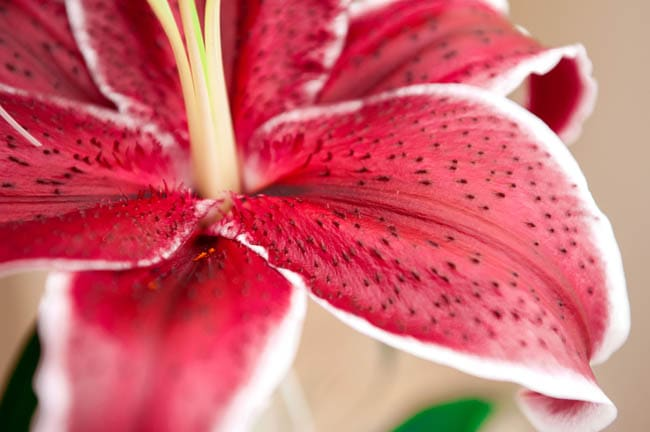 Lilies are highly toxic to cats