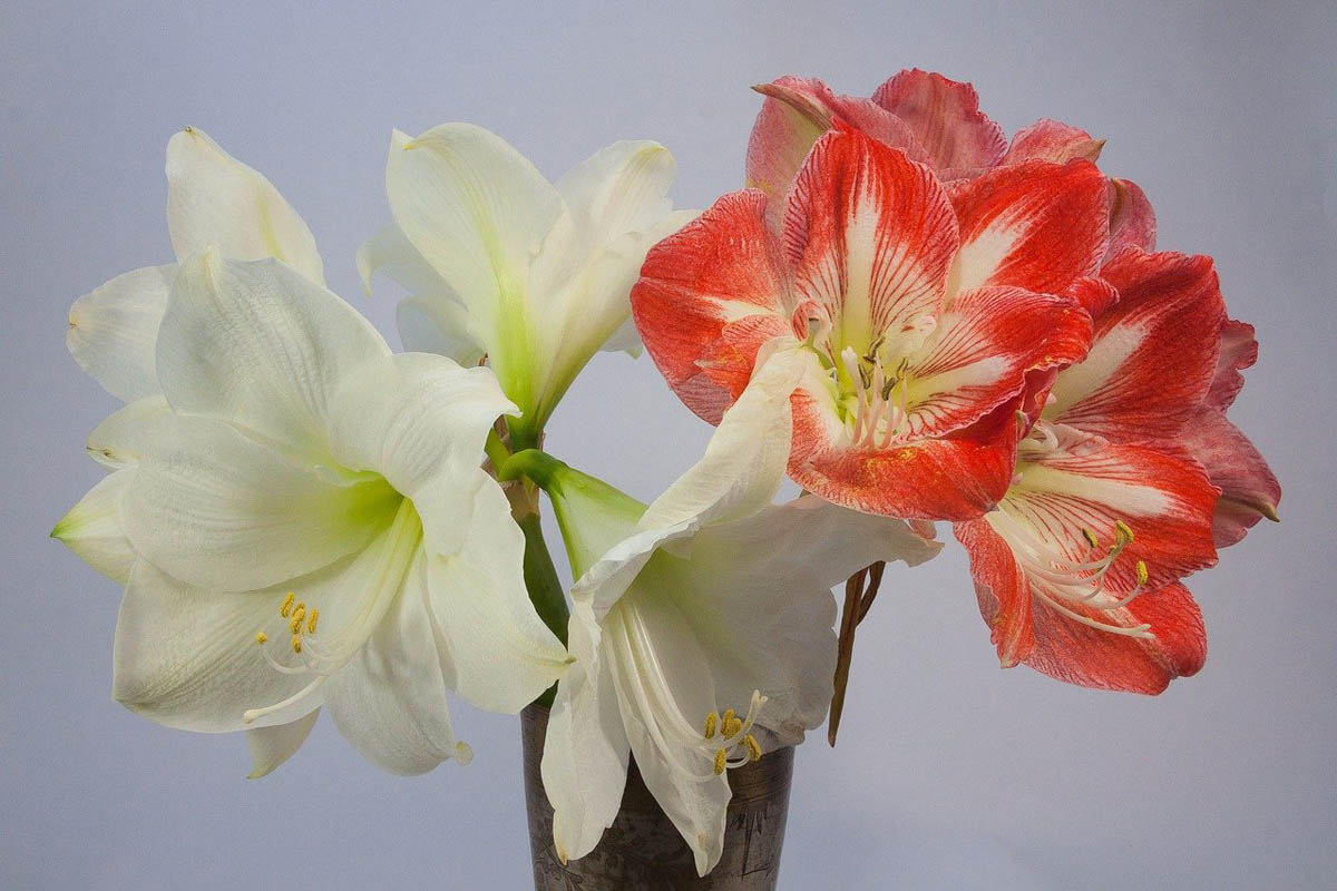 Symptoms of amaryllis toxicity in cats