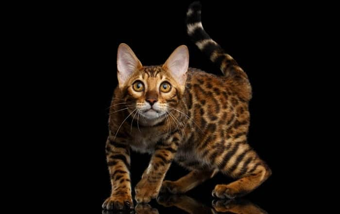 Bengal Cat Profile - History, Appearance and Temperament