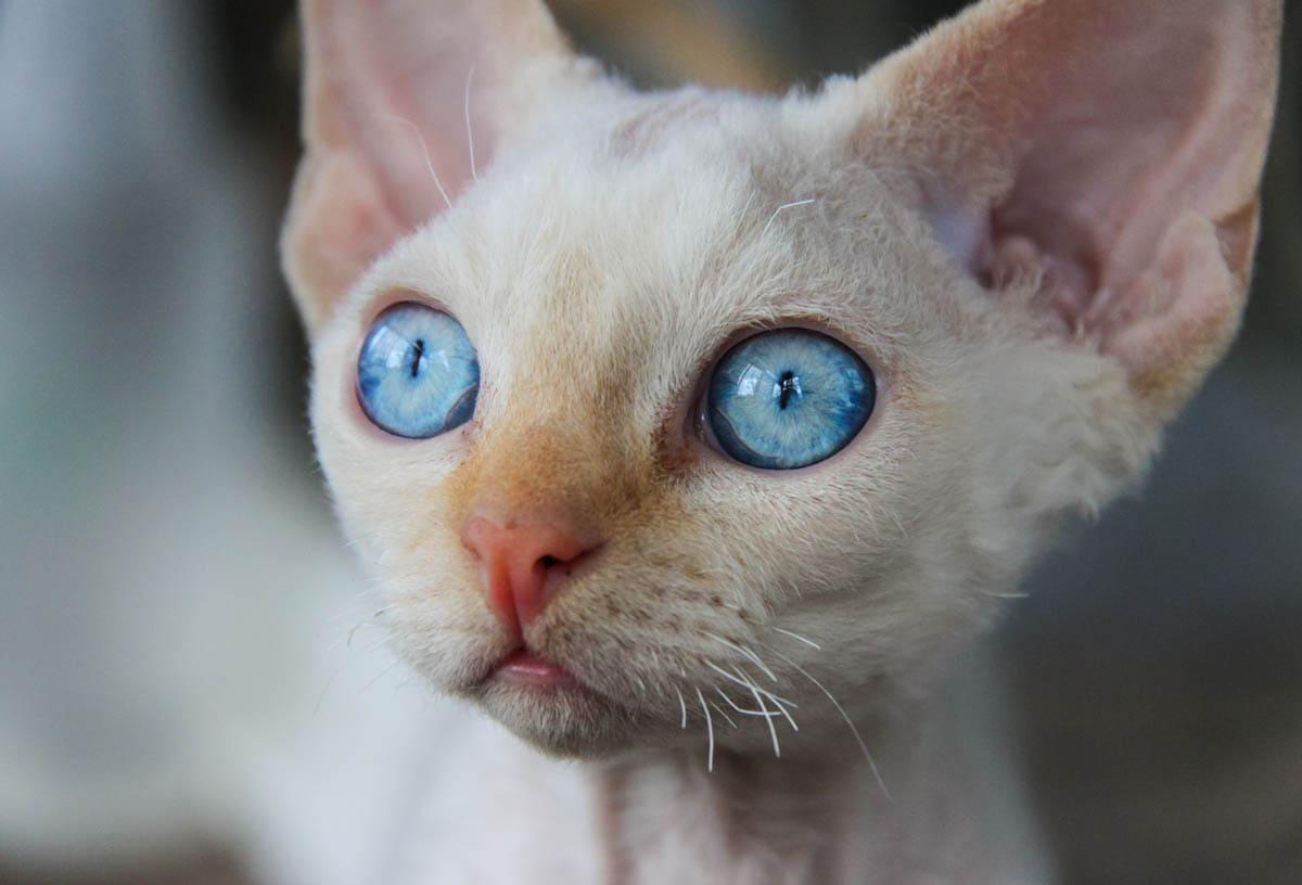 Energetic breeds of cat