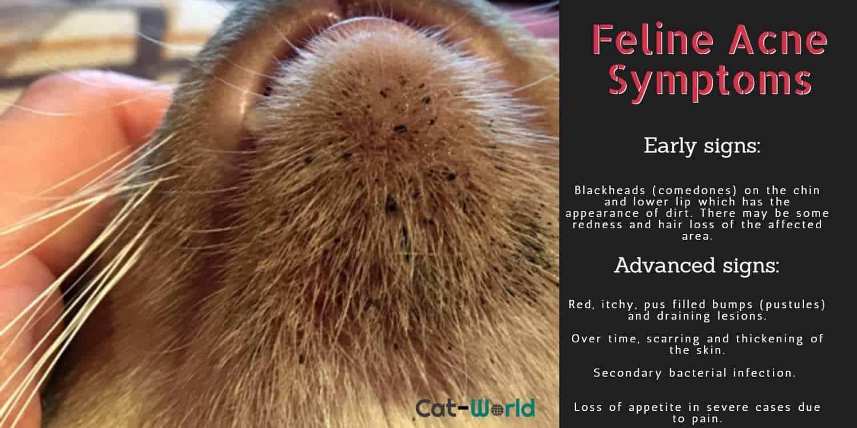 Feline acne symptoms