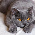 9 Low-Energy Breeds of Cat