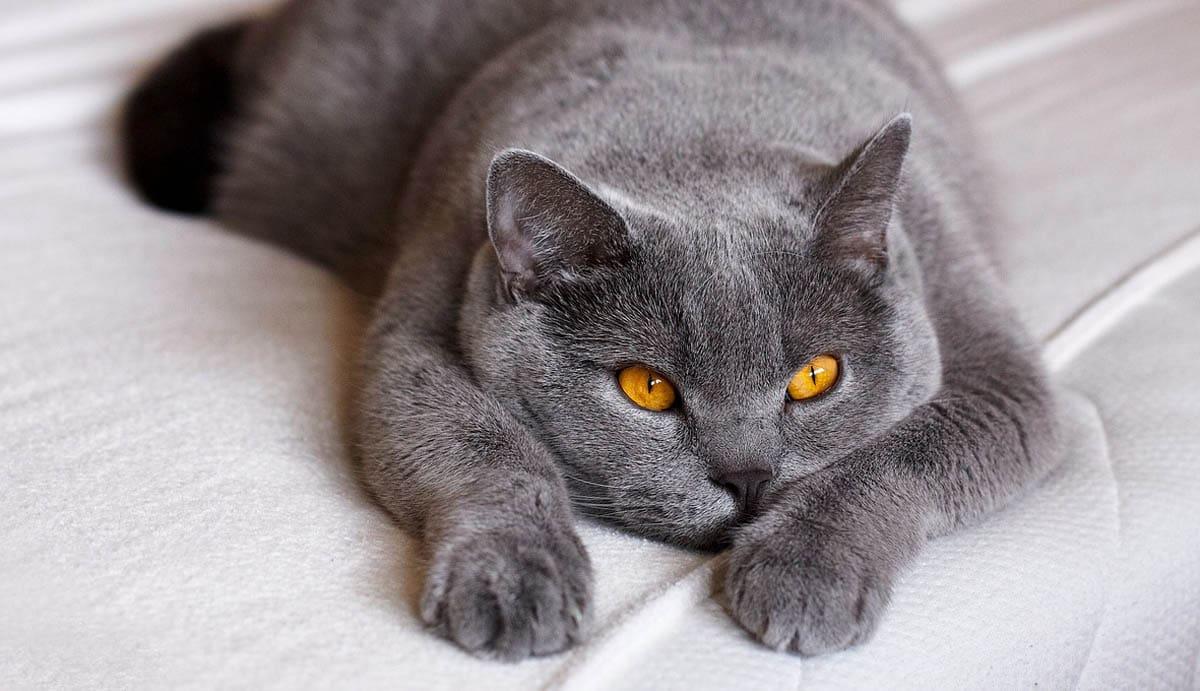 Low energy breeds of cat