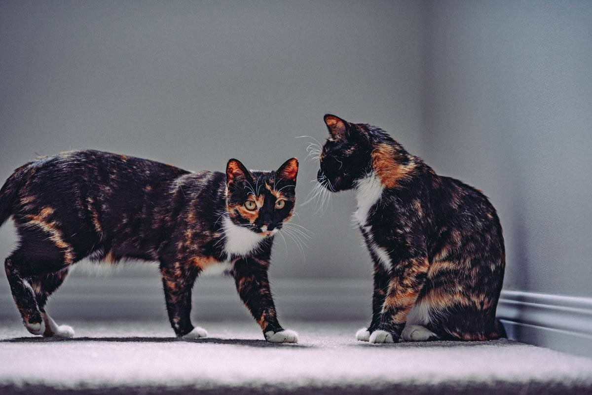 Two tortie and white domestic shorthairs