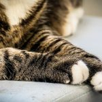 9 Common Causes of Limping in Cats