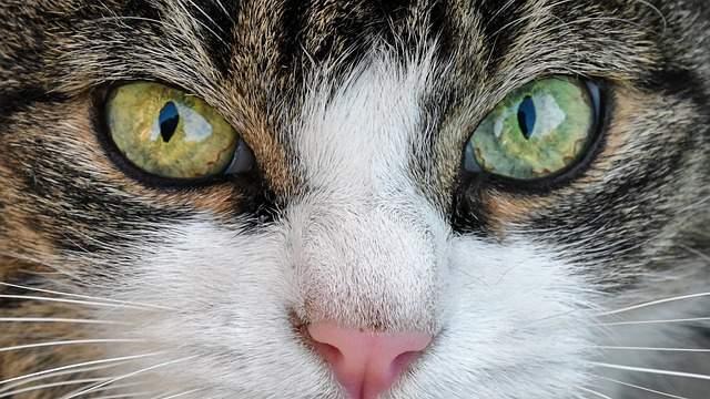 Bulging cat eye (proptosis)