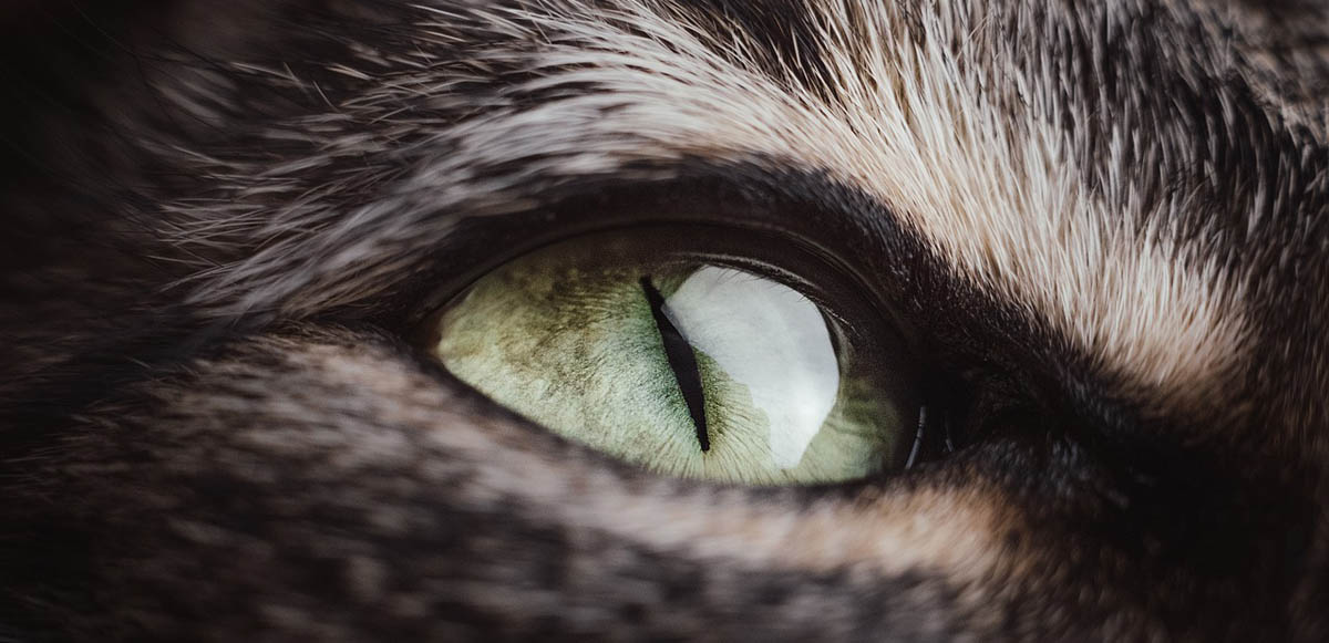 Proptosis in cats