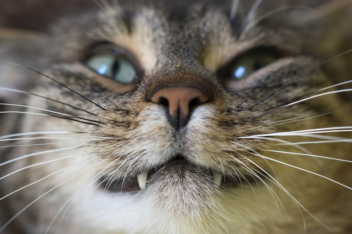 Root canal treatment for cats