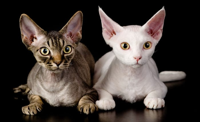 Cat breeds which shed the least