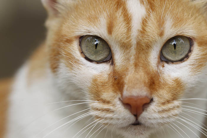 Liver shunt in cats