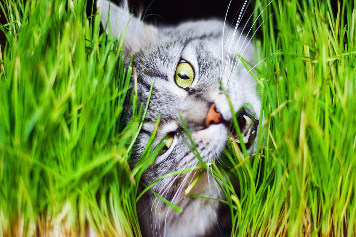 Why Do Cats Eat Grass and Is It Safe?