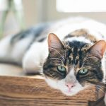 Antiviral Therapy For Cats