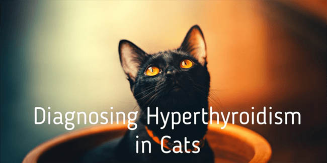 Diagnosing hyperthyroidism in cats