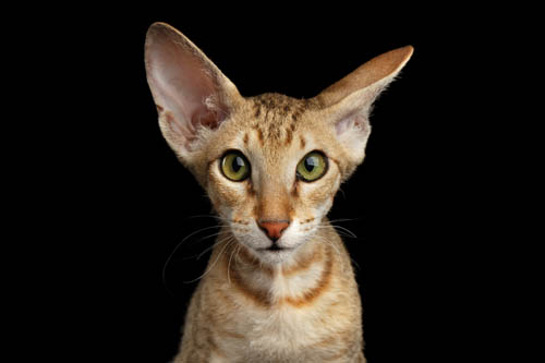 Peterbald cat with hair
