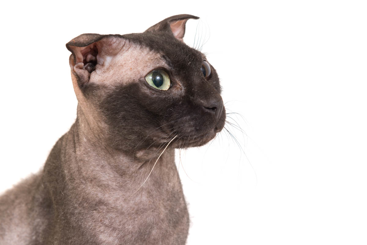 Hairless Cat Breeds - 7 Breeds of Hairless Cat 1