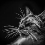 Cat Urinary Tract Urolithiasis