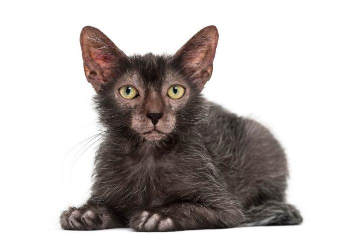 Lykoi (Werewolf) Cat Breed Profile