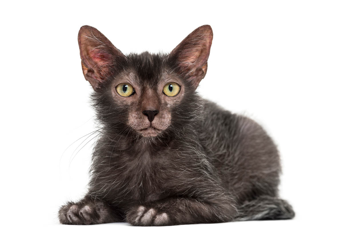 Lykoi cat breed profile