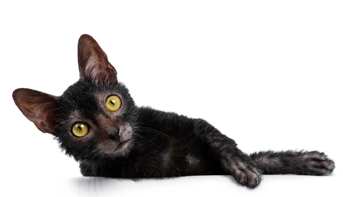 Lykoi cat lying down