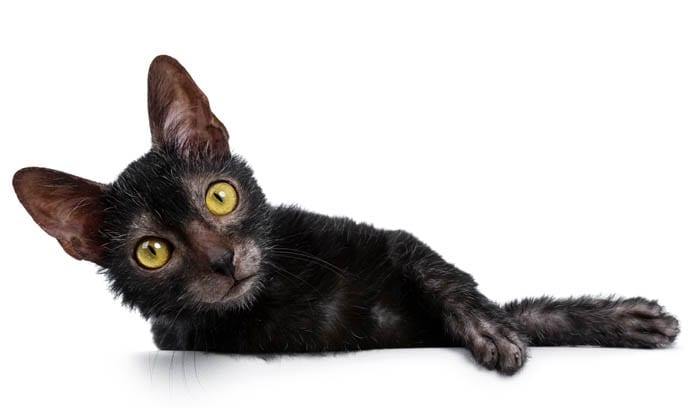 Lykoi Cat Breed Profile 1
