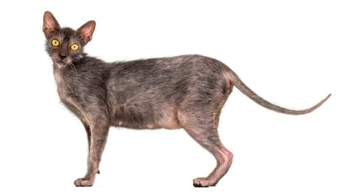 Lykoi Cat Breed Profile 3