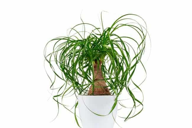 Beaucarnea (ponytail palm)