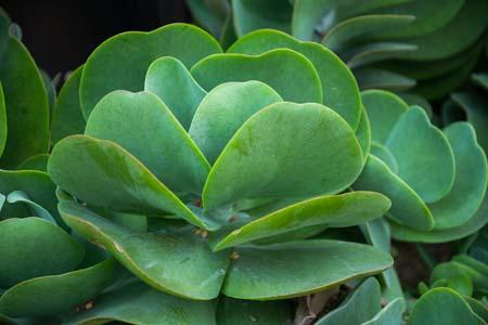 Flapjack cactus